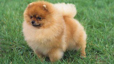 Íme a világ 5 legkisebb testű kutyája. Elképesztő, hogy milyen aprócskák!