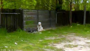 Ő lehet Hachiko utódja – 5 éve őrzi halott gazdájának házát egy kutya Romániában