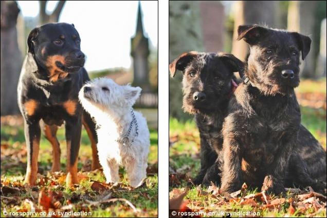 Beleszeretett a Westie egy Rottweilerbe