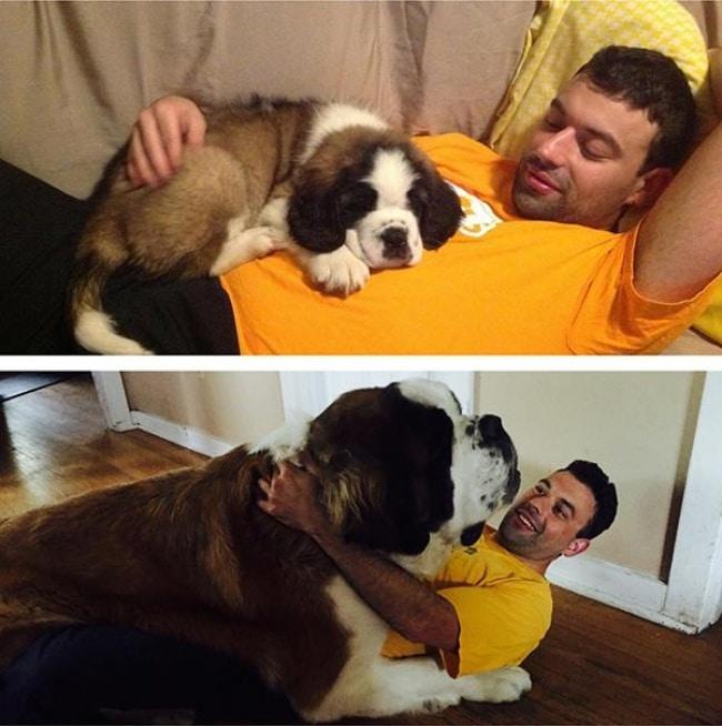 nagy kutyák, akik mindig kölykök maradnak12