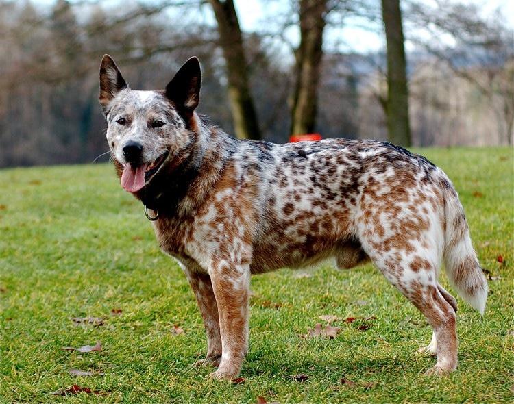 Íme a 10 legokosabb kutyafajta a világon1