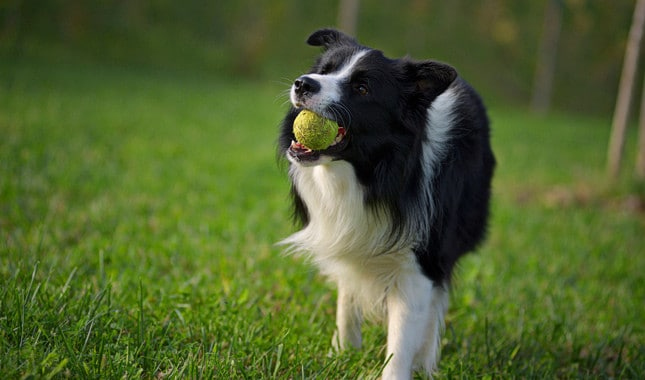 Íme a 10 legokosabb kutyafajta a világon10