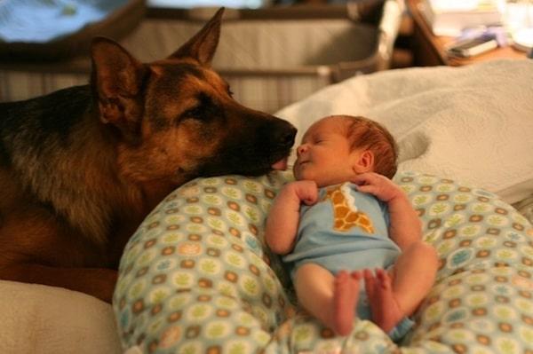 10 ok arra hogy soha ne legyen német juhász kutyád2