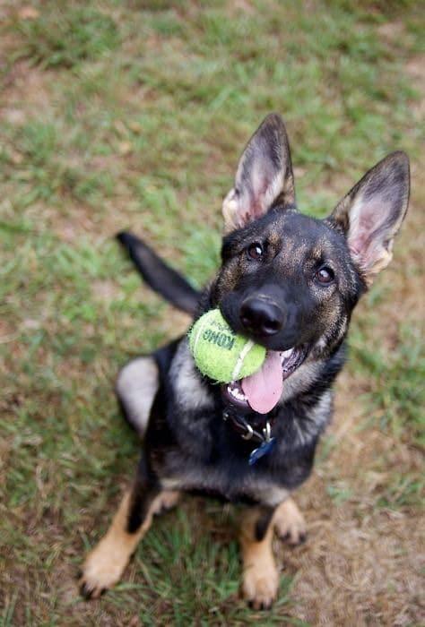 10 ok arra hogy soha ne legyen német juhász kutyád3