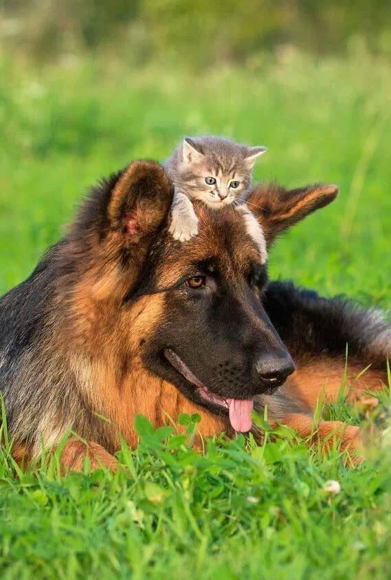 10 ok arra hogy soha ne legyen német juhász kutyád5