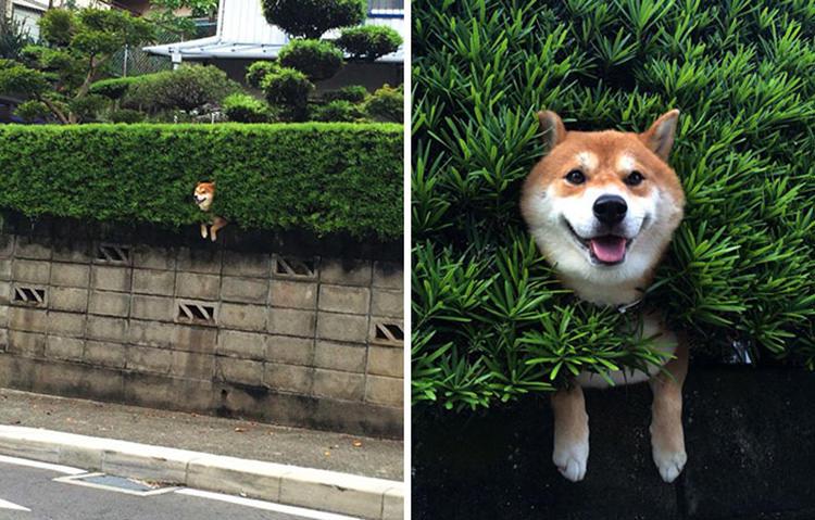 15 kíváncsi kutya, aki nagyon vicces helyzetbe került.4