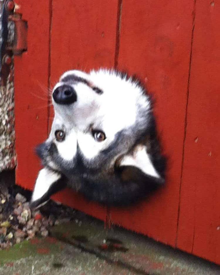 15 kíváncsi kutya, aki nagyon vicces helyzetbe került.5