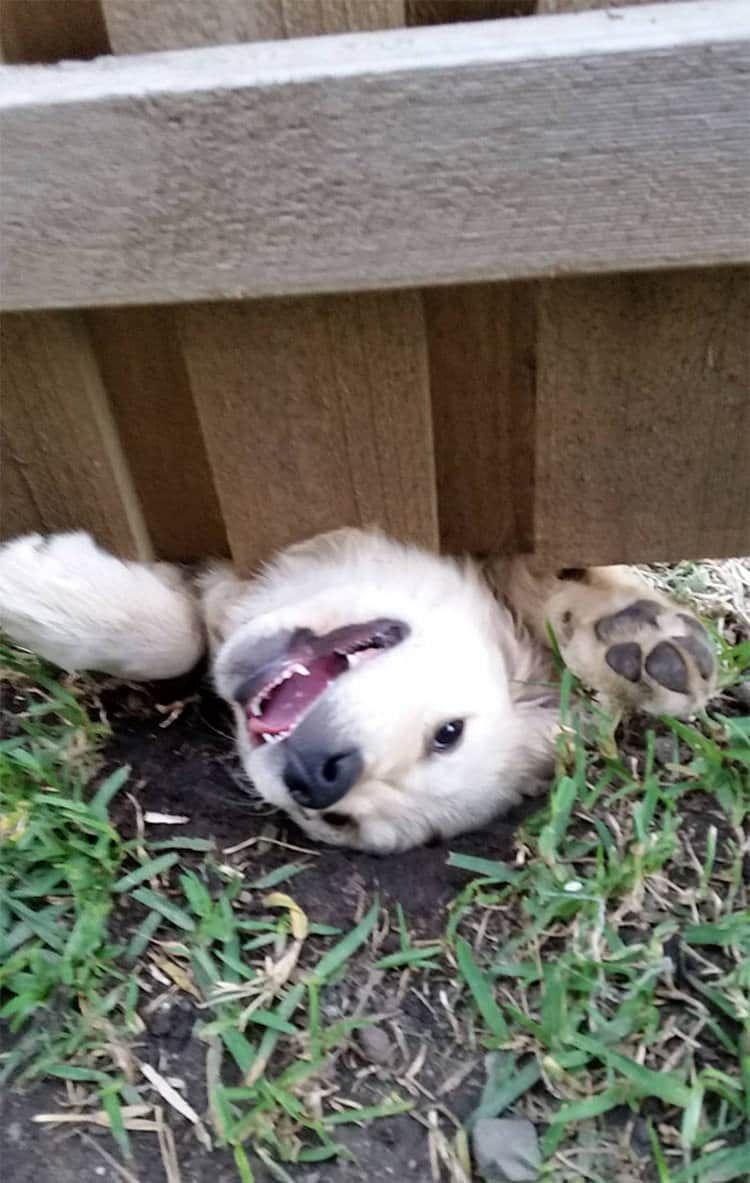 15 kíváncsi kutya, aki nagyon vicces helyzetbe került.8
