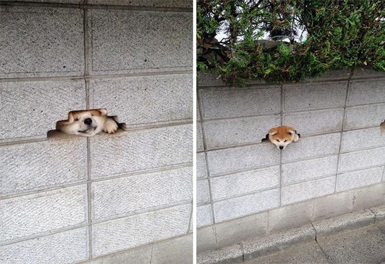 15 kíváncsi kutya, aki nagyon vicces helyzetbe került.9