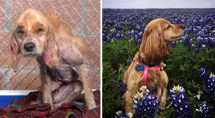 16 szívfacsaró előtte-utána kép a halál széléről mentett kutyákról14