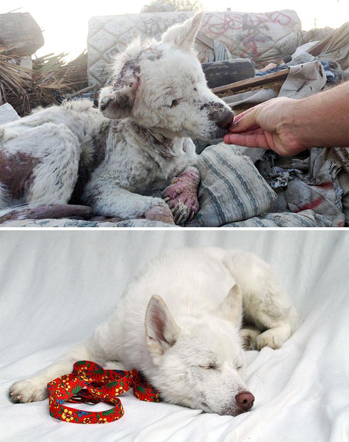16 szívfacsaró előtte-utána kép a halál széléről mentett kutyákról15