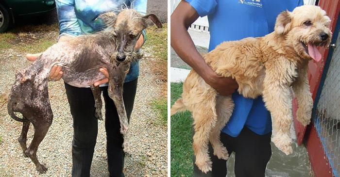 16 szívfacsaró előtte-utána kép a halál széléről mentett kutyákról3
