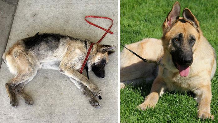 16 szívfacsaró előtte-utána kép a halál széléről mentett kutyákról4