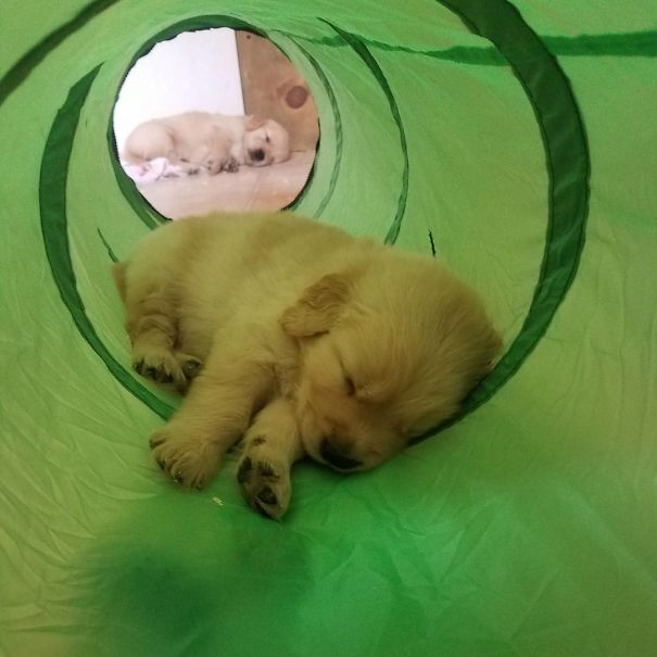 20 golden retriever kölyök18