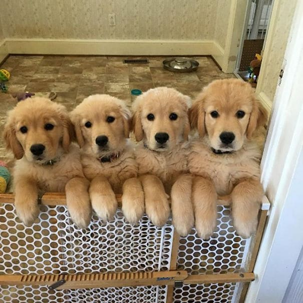 20 golden retriever kölyök20