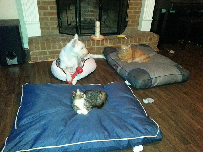 20 macska, aki állandó rettegésben tartja a család kutyáját11