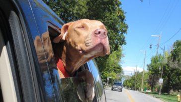 21 boldog kutya útban az új otthona felé a menhelyről.1