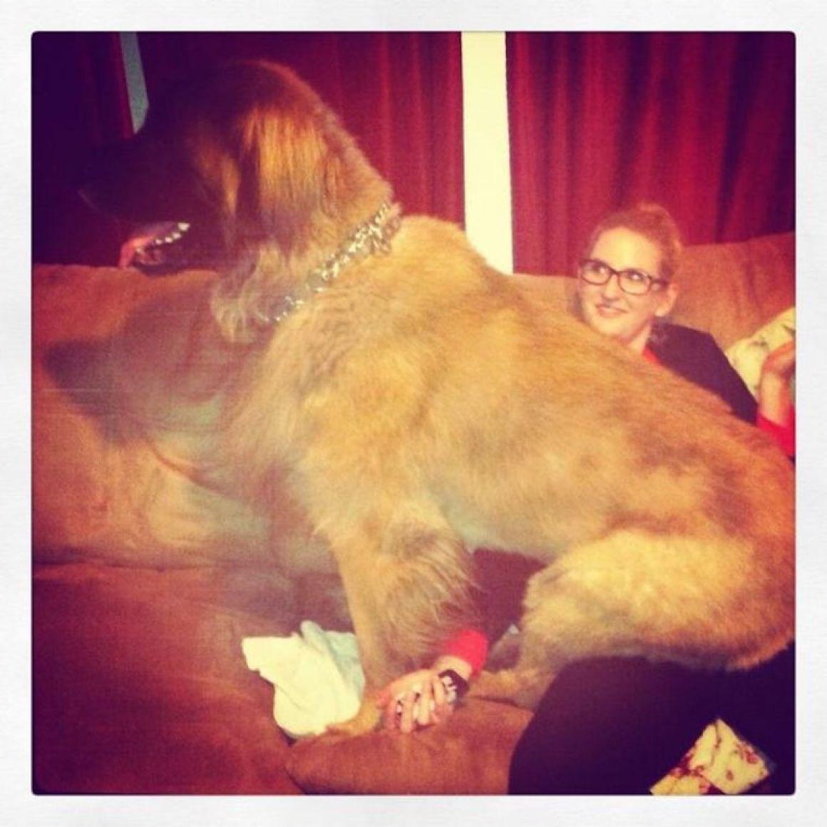 29 nagyra nőtt kutya18