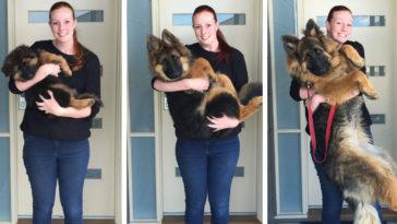 A pár nem hitte el, hogy a kutyájuk ekkora lesz