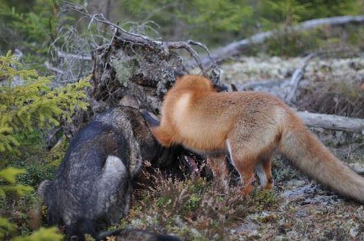 A kutya minden nap eltűnik az erdőben2
