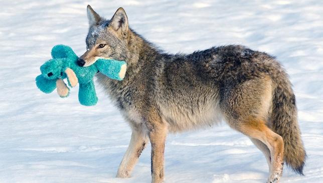 farkas játszik1