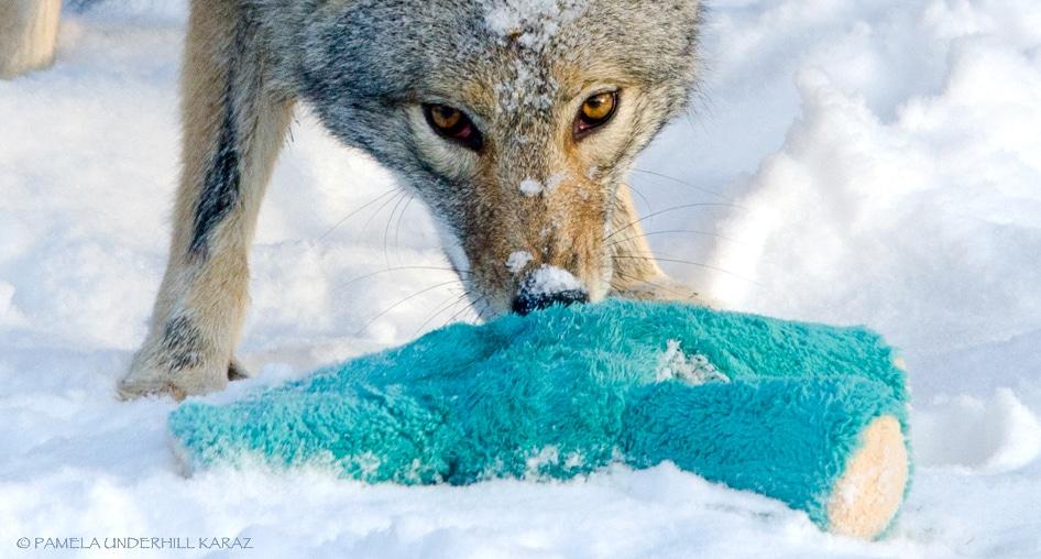farkas játszik3