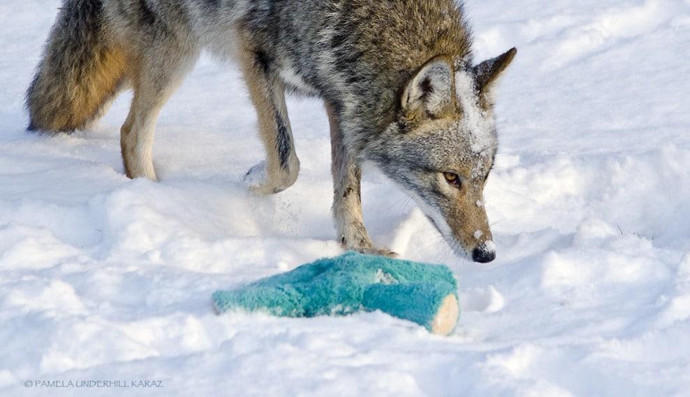 farkas játszik4