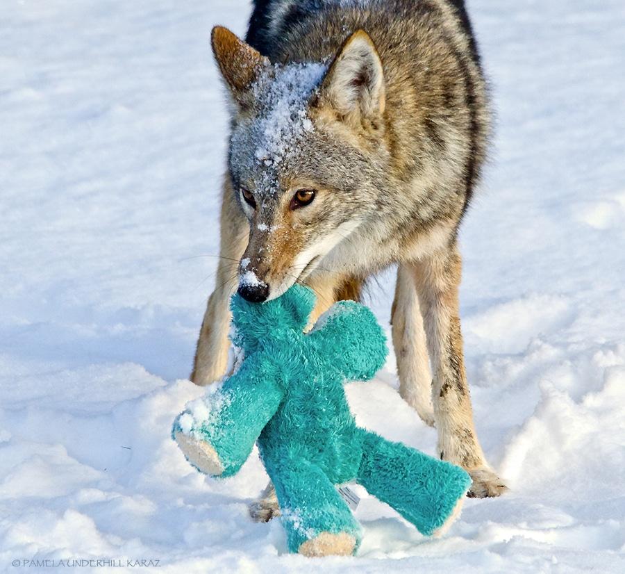 farkas játszik5