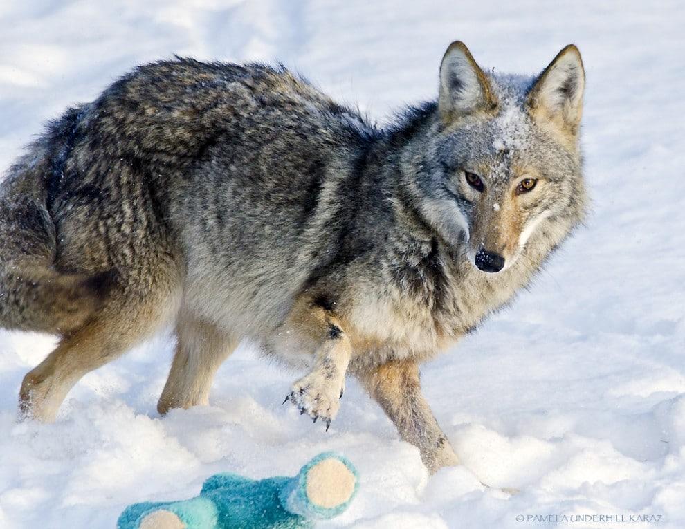 farkas játszik6