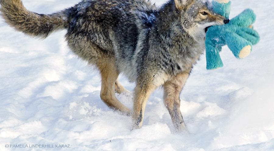 farkas játszik8