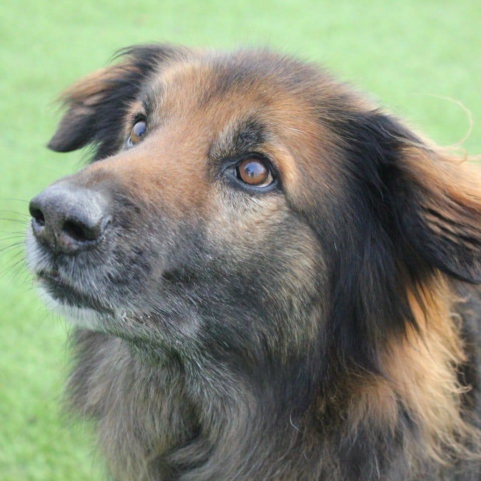szomorú kutya már 10 éve élt a menhelyen4