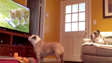 kutyák-tvt-néznek