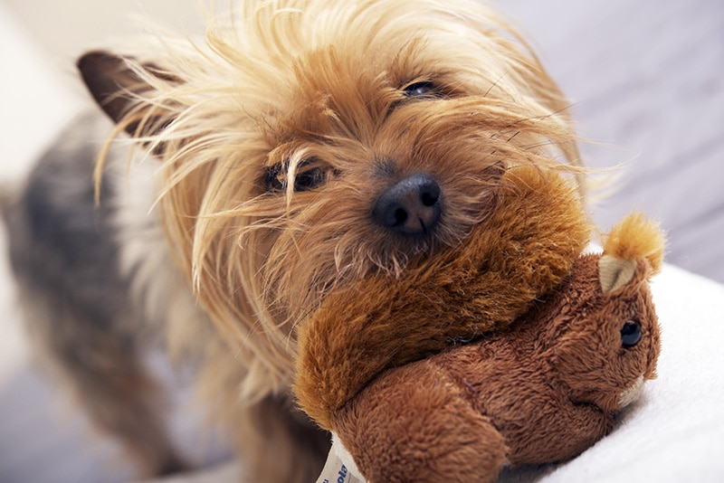 Small Dog Play with Plushy Toy. Four Years Old Australian Silky Terrier. Pets Photo Collection