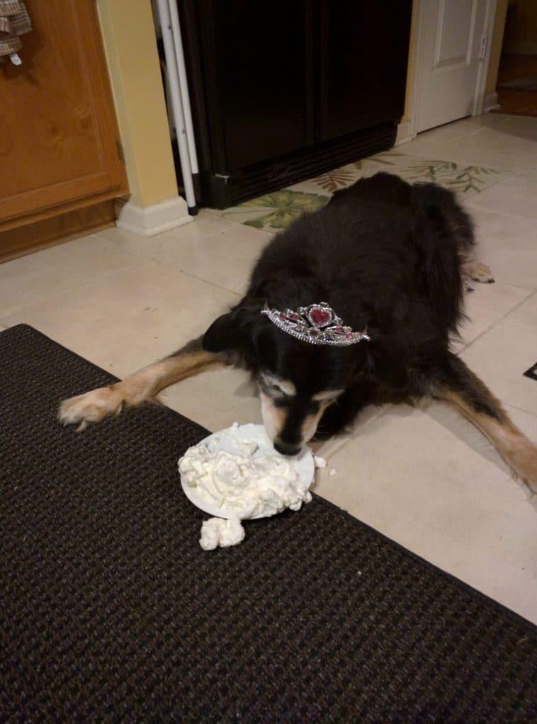 #10 A haverom kutyája, aki már a születésnapi tortáját eszegeti.