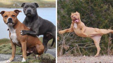 13 fénykép a pitbullokról