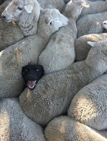 #14 Ez a blöki inkább bárány szeretett volna lenni.