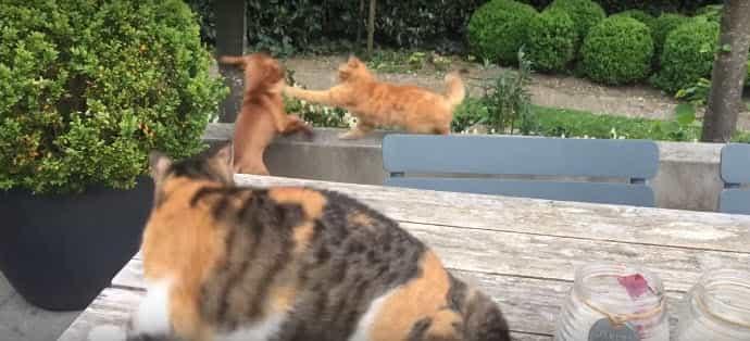 A kölyök odament a közeli szegélyhez, ahol egy vörös cica ült. A kutya felmegy a szegélyre, és próbálja köszönteni a cicát.