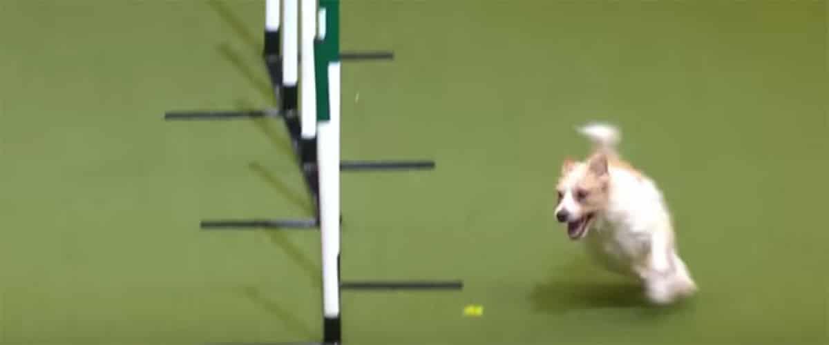 A kutyákat kicsi korukban a legegyszerűbb tanítani néhány trükkre. A tanulási készségüknek köszönhetően többféle trükköt is taníthatunk. Számos kutyakiállításra