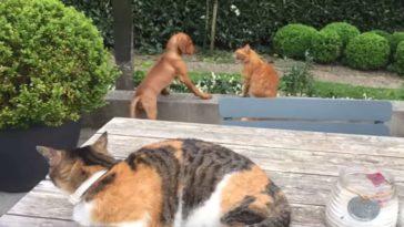 A macska megvédi az imádni való kölöykkutyát, akit egy másik cica terrorizál