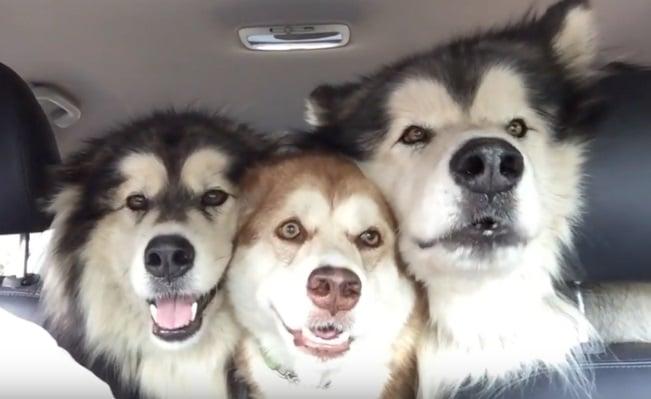 Alaszkai malamuták Leila, Travis és Zoé épp óton vannak, amikor a kutyák úgy döntöttek,hogy el kezdenek énekelni. Ezek azimádnivaló kutyusok trióban sem sikerül egy szinten éneke