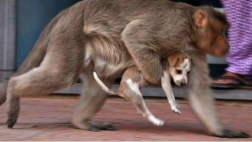 Azt hitték a majom elrabolja a kutyakölyköt5
