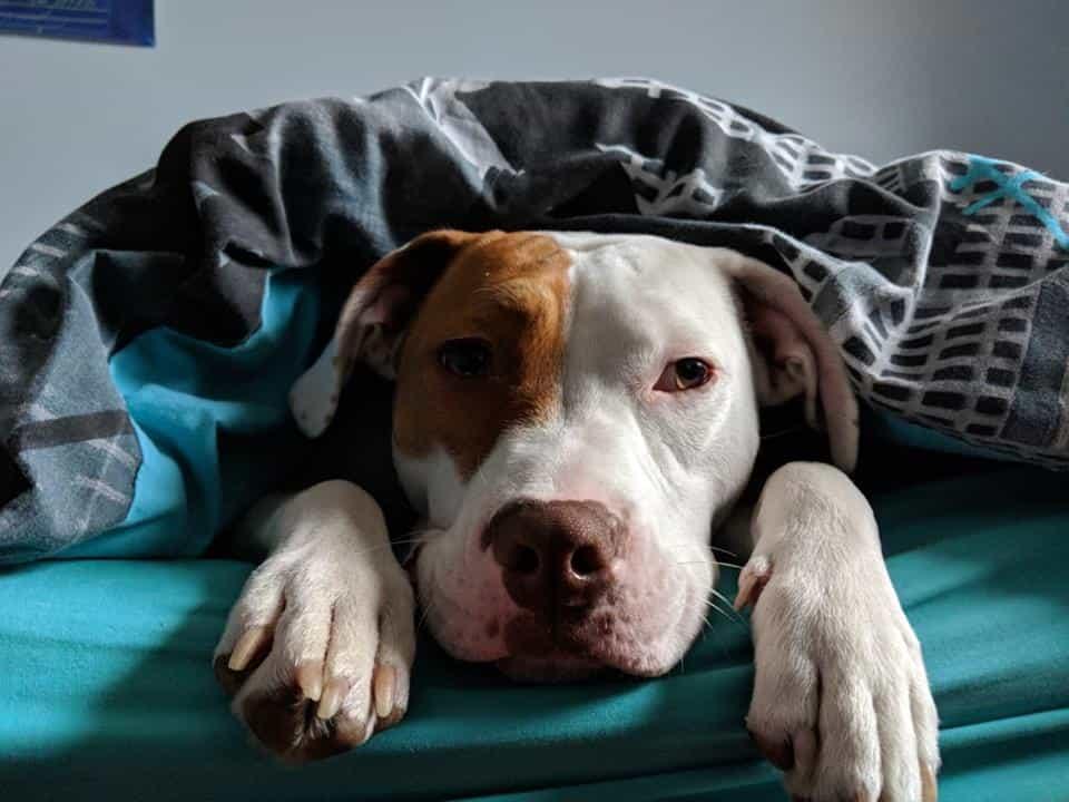 Idővel Igor elkezdett megbízni az RSPCA munkatársaival, és egy édes, szeretetteljes kiskutyává vált.