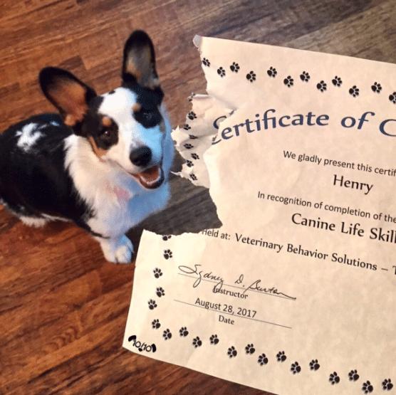 Miután Henry megkapta a neki járó diplomát, Corgi azonnal el kezdte falatozgatni