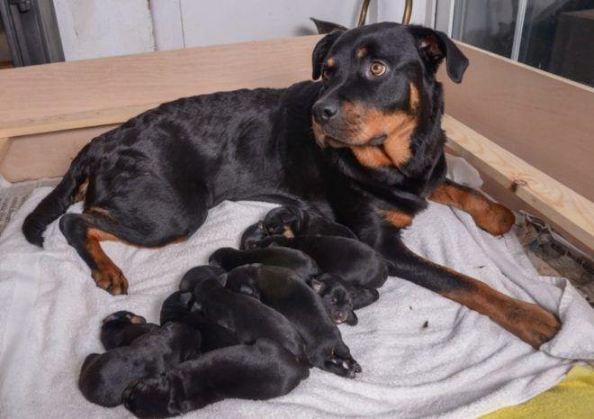 15 kicsinye születik kutyájának