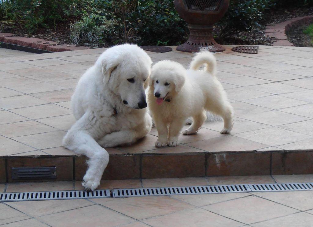 A világ 5 legnagyobb testű kutyája