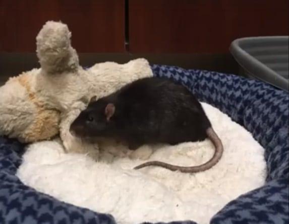 Egy patkányt, egy kutyát és egy cicát hagynak a menhelyen