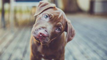 Miért fordítják oldalra a fejüket a kutyák