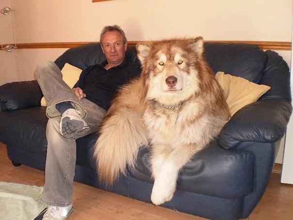 kutyák nem tudják milyen hatalmasak