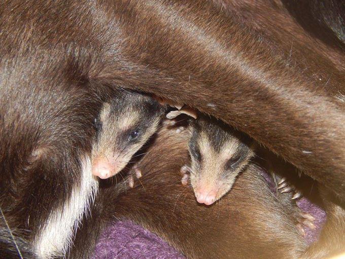 oposszumbabákat fogadott örökbe a kutya