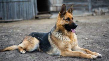 A legjobb őrző-védő kutyafajták